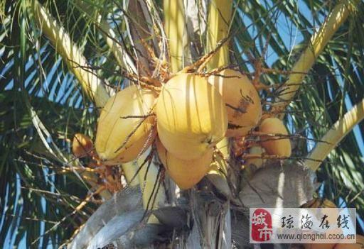 大量椰子出售