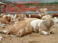 山西诚兴良种养殖场现出售一批优质奶牛、肉牛