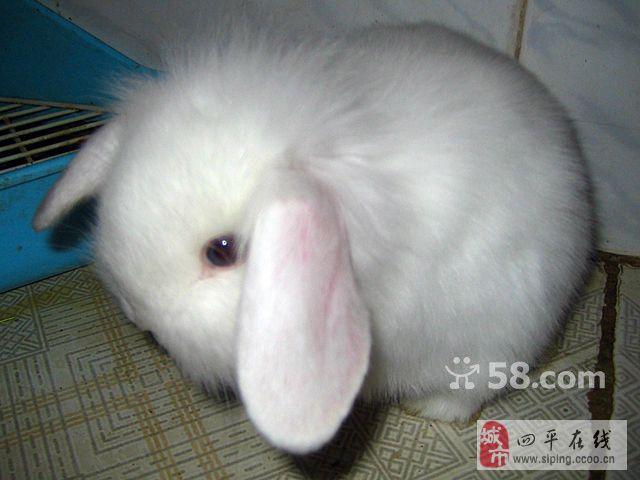 泰国迷你小香猪.回收带毛宠物