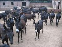 肉羊 肉牛 肉驴 马