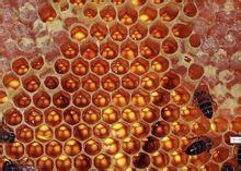 家養蜜蜂,純天然蜂蜜出售