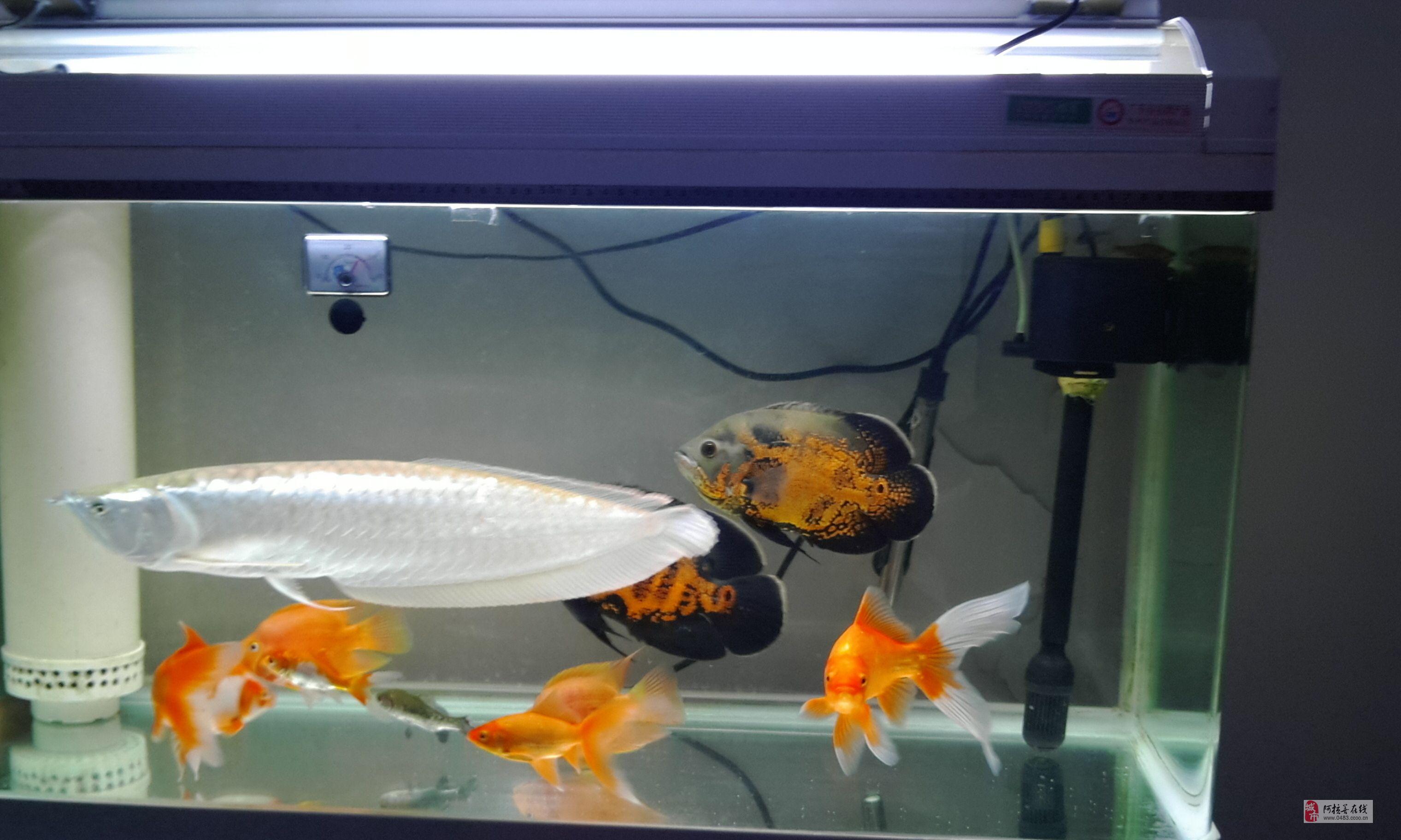 出卖自野生的银龙鱼