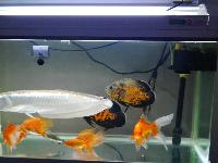 出售自家养的银龙鱼