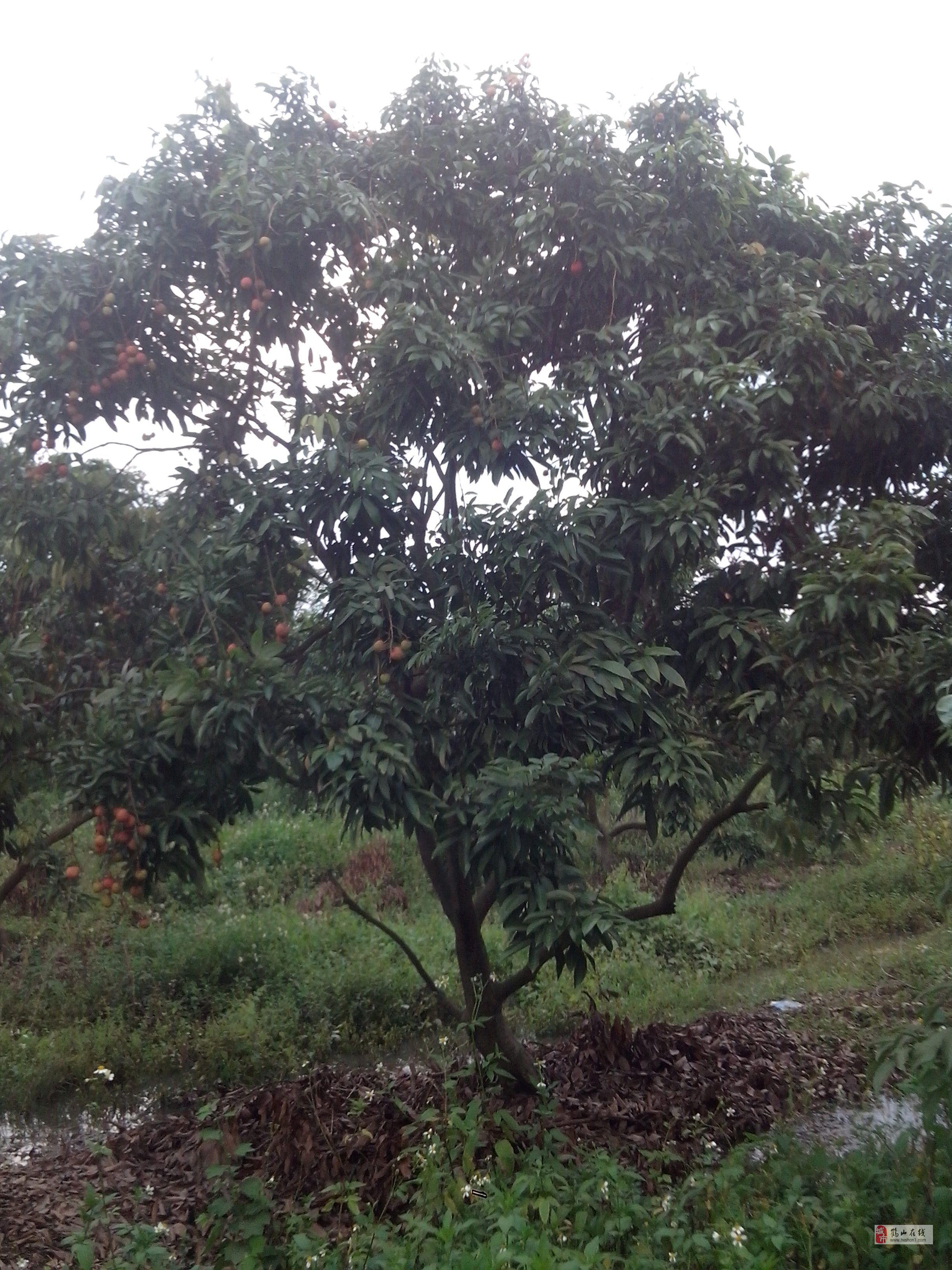 转让一批荔枝树果树
