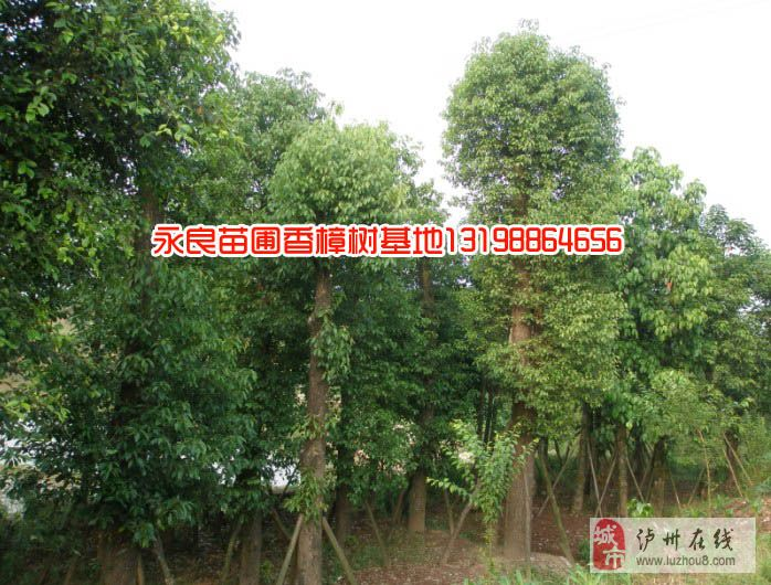 瀘州合江永良苗圃出售香樟桂花等成樹
