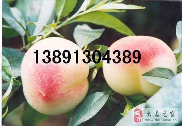 陜西早熟毛桃產地價格雪里紅毛桃早美毛桃\超紅勝毛桃