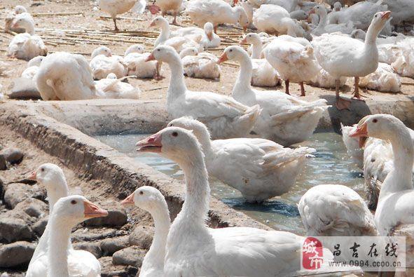 出售家庭散養雁鵝