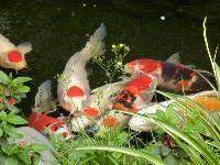 观赏鱼−−-锦鲤