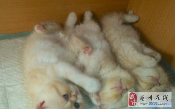 家养纯种加菲2窝各种花色加菲小猫猫