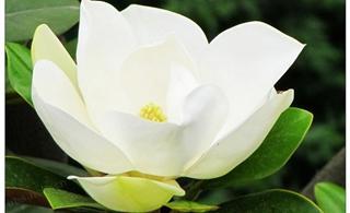 丹凤丹江公园的玉兰花!