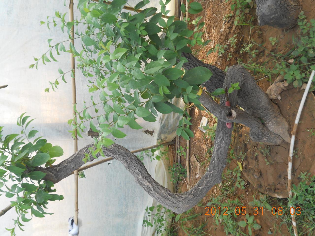 出售流苏树(白快子),流苏树苗,桂花