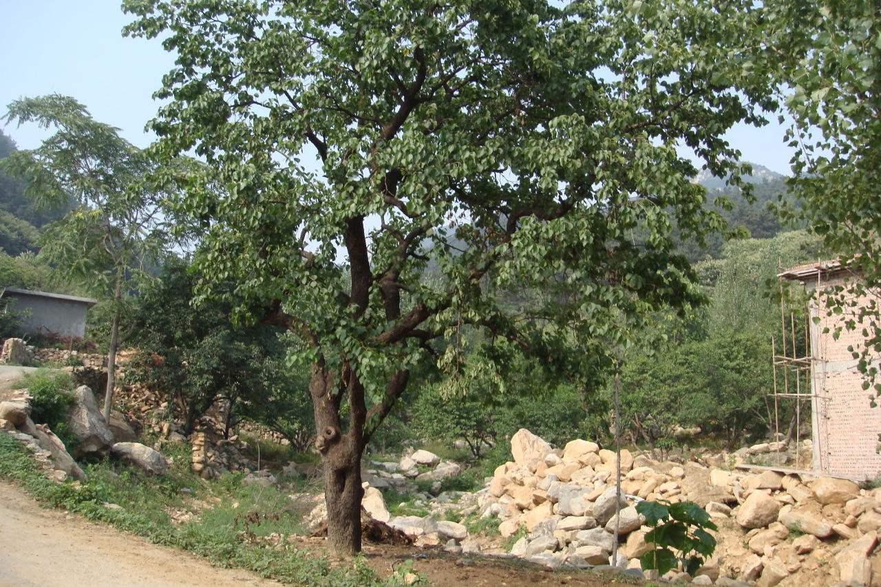 详情介绍                   本人有近百年杏树一棵,枝繁叶茂,树形