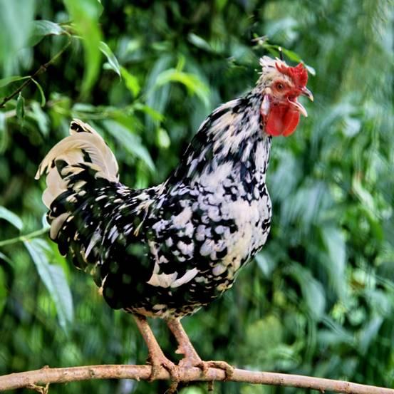 出售天然营养美味贵妃鸡