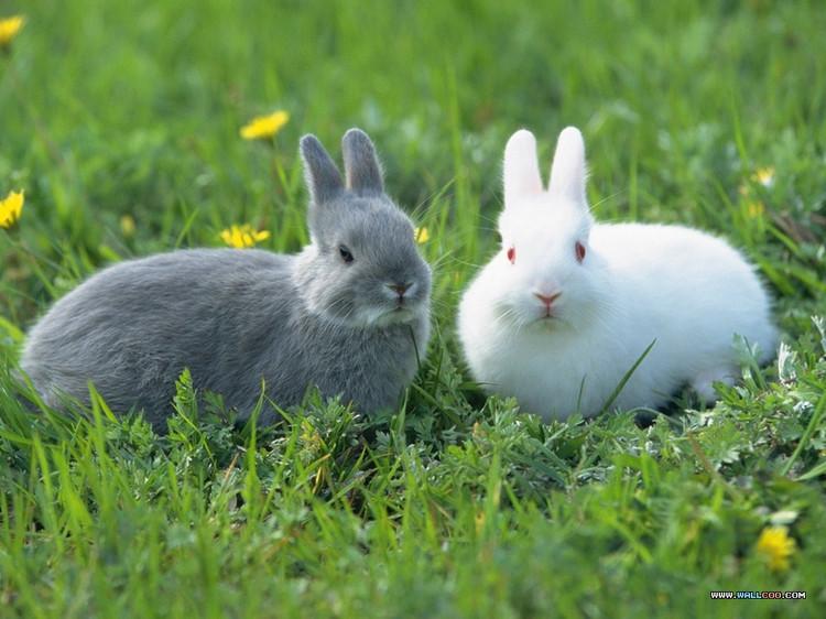 出售黑、红眼睛的宠物幼兔仔(有黑、黄、白、混色毛)