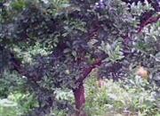 出售石榴樹