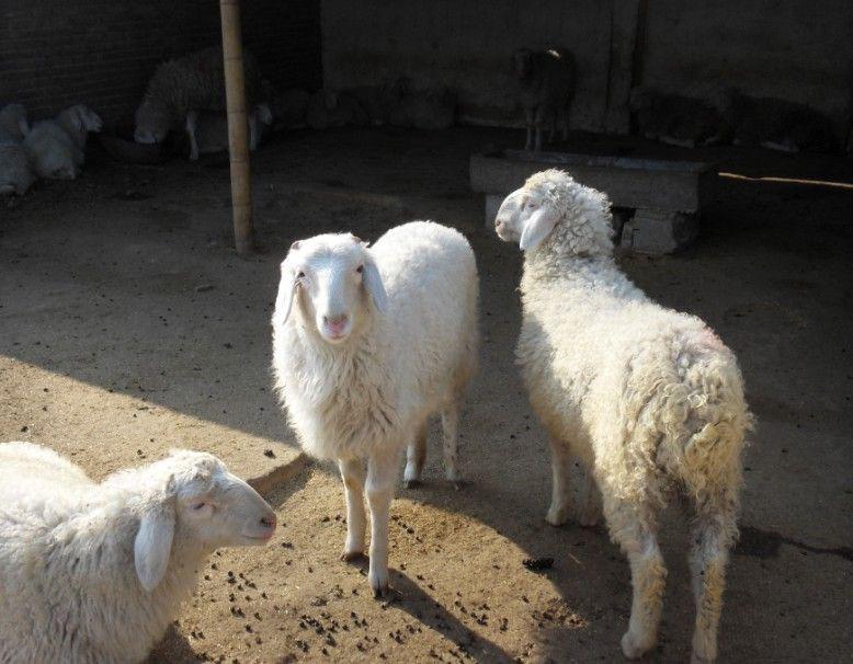 東豐縣綿羊出售