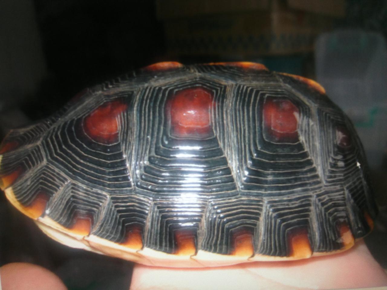 出售黄缘种龟