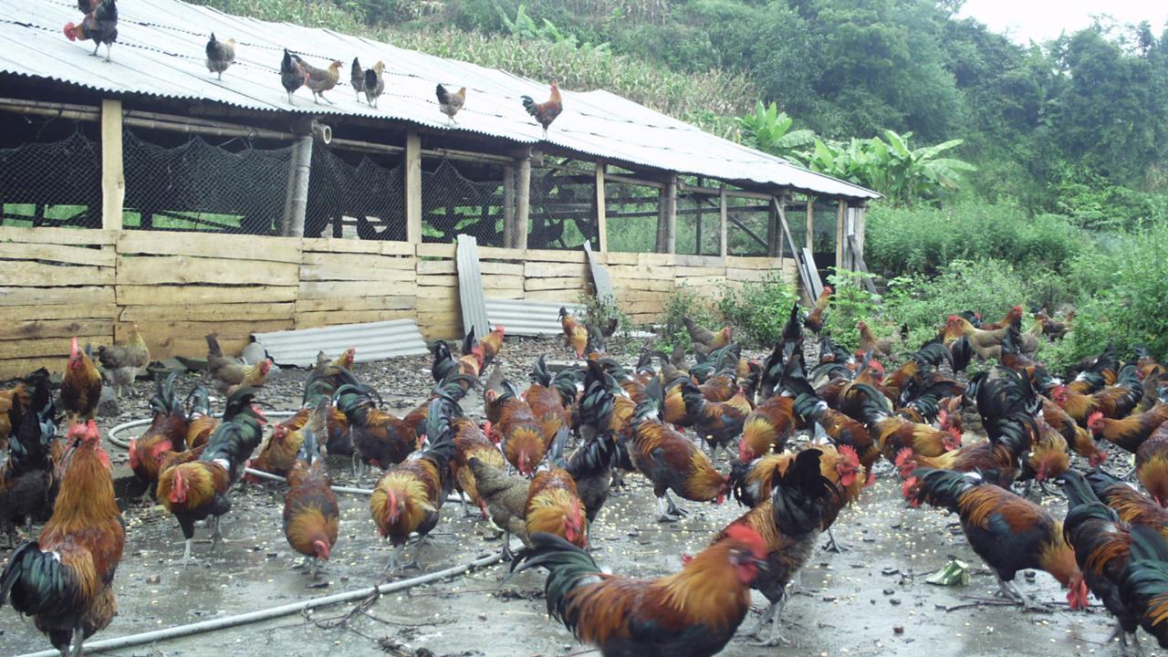 本地雞批發零售
