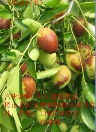 比冬棗好吃的棗果新品種宮棗