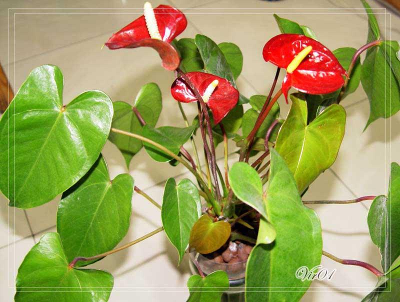 水培红掌叶子上出现坏斑块 叶子水培红掌斑块图片