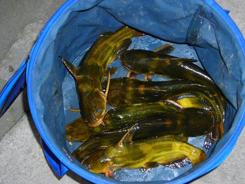 大量嘎魚出售