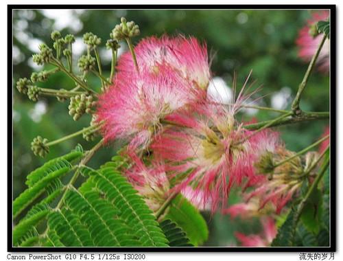 大量出售1-2年生合欢树,流苏。黑松树。