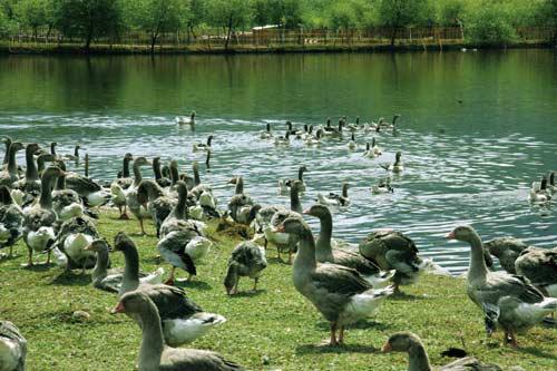 誠售農家山林放養家鵝土鵝,價格面議,量大從優