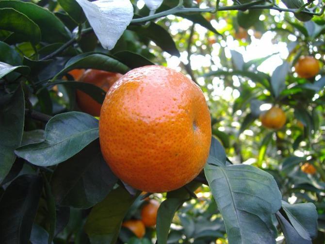 城固30萬畝柑橘國慶全面上市了