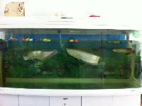 银龙鱼两条和1.5米佳宝鱼缸