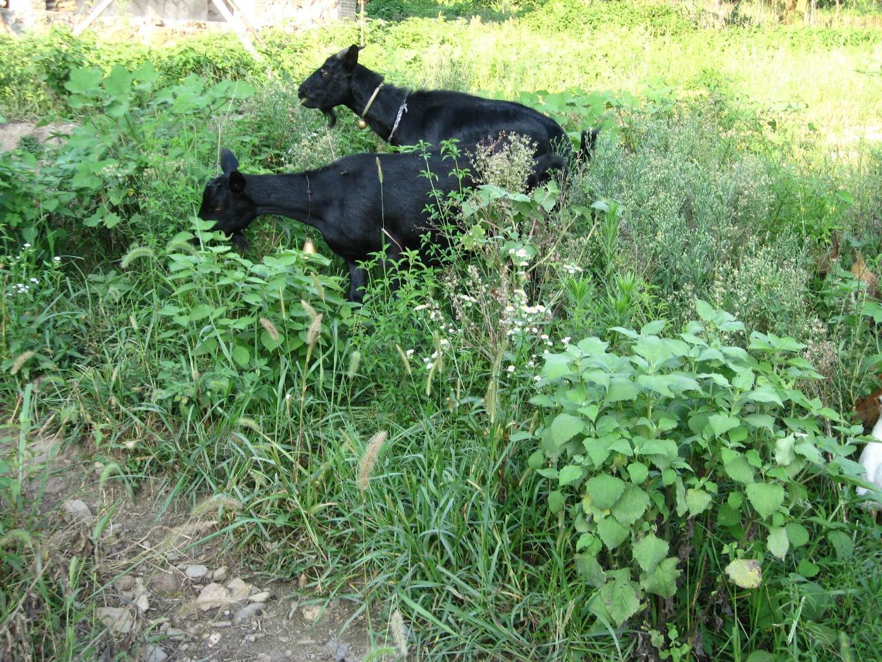 五朵梅花黑山羊养殖