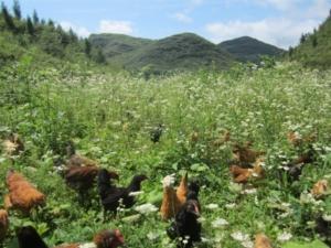 高山生态放养绿壳蛋鸡