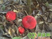 头戴小红帽的红菇