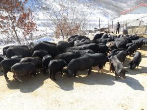 丹东市宽甸县泓丰藏香猪养殖场