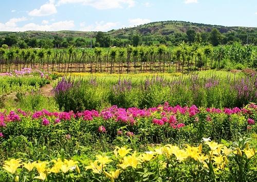 扎兰苗圃现有各种针叶树,彩叶树,绿化乔木,花灌木,宿根花卉供您选购.