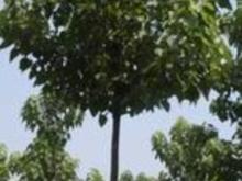 河南鹿邑花木种植基地