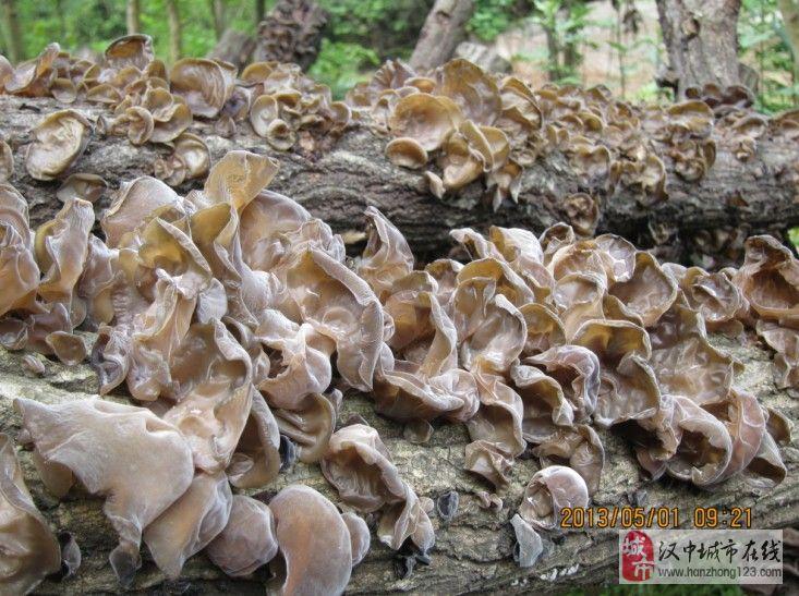 汉中 自家种植   精品 干香菇  干木耳  批发