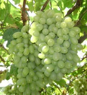 维多利亚葡萄熟了